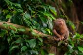 Pygmy Marmoset ape in the jungle — Stock Photo