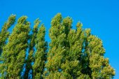 Green trees on blue background — Stock Photo