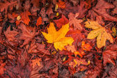 Autumn maple in warm colors — Stock Photo