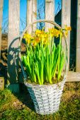 Basket with daffodils in the garden — Stock Photo