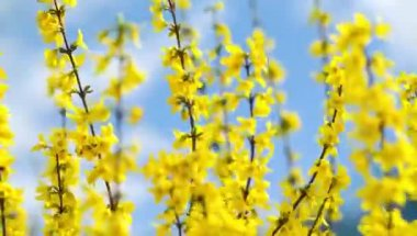 Forsythia busk in the wind — Stock Video