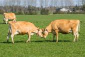 Jersey cows head to head — Stock Photo