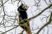 Red panda climbing in a tree — Stock Photo