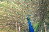 Peacock with open feathers — Stock Photo