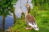 Goose standing near water — Stock Photo