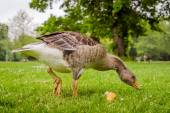 Goose searching for food — Stock Photo
