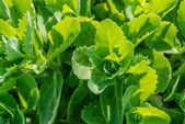 Close-up of green cabbage — Stock Photo