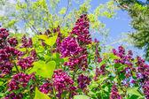 Buddleja bush in a garden — Stock Photo