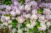Witte bloemen op een bush — Stockfoto