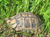 Shoham the turtle 2012 — Stock Photo