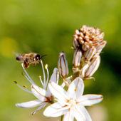 Shoham Bee and Asphodelus 2011 — Stock Photo