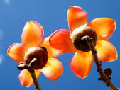 Ramat Gan Wolfson Park the Bombax Ceiba flowers 2011 — Foto de Stock