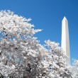 Washington Cherry Blossoms in front of Washington Monument 2010 — Stock Photo #59567693