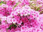 Washington Azalee flowers 2007 — Stock Photo