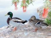 Ramat Gan Park Drake and Duck 2007 — Stock Photo