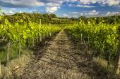 Vineyards in Castel San Gimignano village (Siena) — Stock Photo