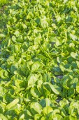 Field of spinach — Stock Photo