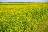 Mustard field — Stock Photo