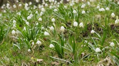 Snowflakes, a spring flower of the German flora — Stockvideo