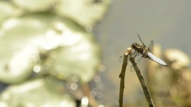 Broad-bodied chaser — Stock Video