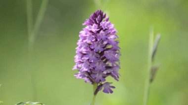 Wild orchids of Germany — Stock Video