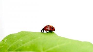 Lady beetle — Stock Video