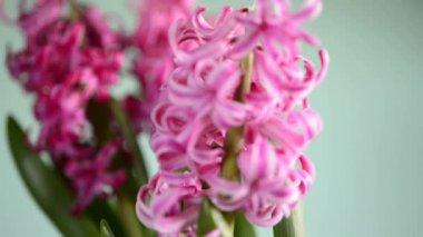 Sümbül çiçeği — Stok video
