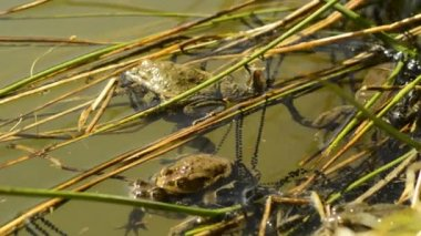 Frogs during reproduction in a pond — Video Stock