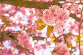 Japanese cherry blossom — Stock Photo