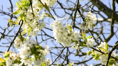 Fruit tree with blossom — Stock Video