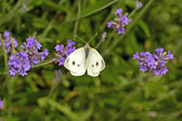 Cabbage butterfly on lavender flower — Stock Photo