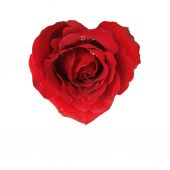 Heart of red rose isolated on white background — Stock Photo