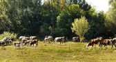 Herd of cows on natural pasture — Stock Photo