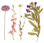 Set of wild flowers pressed — Stock Photo