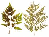 Set of leaf fern pressed — Stock Photo