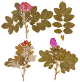 Set of dry twigs and pressed flowers of wild rose isolated — Stock Photo