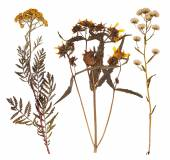 Set of wild dry pressed flowers and leaves — Stock Photo