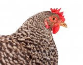 Speckled chicken portrait — Stock Photo