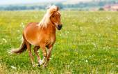 Small pony horse (Equus ferus caballus) — Stock fotografie