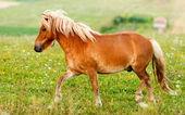 Small pony horse (Equus ferus caballus) — Photo