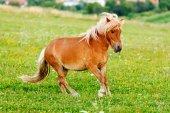 Small pony horse (Equus ferus caballus) — Stock Photo
