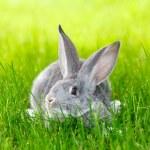 Gray rabbit hiding in green grass — Stock Photo #55949155