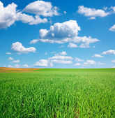 Green wheat field and blue sky with cumulus — Stock Photo