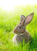 Brown rabbit — Stock Photo