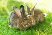 Pair of rabbits sitting in grass — Stock Photo