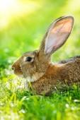 Brown rabbit portrait — Stock Photo