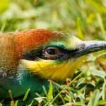 European bee-eater portrait (Merops apiaster) — Stock Photo #55950649