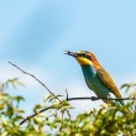 European bee-eater (Merops apiaster) — Stock Photo #55950719