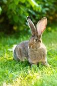 Brown rabbit near bush — Stock Photo