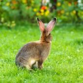 Brown rabbit's back in garden — Stock Photo